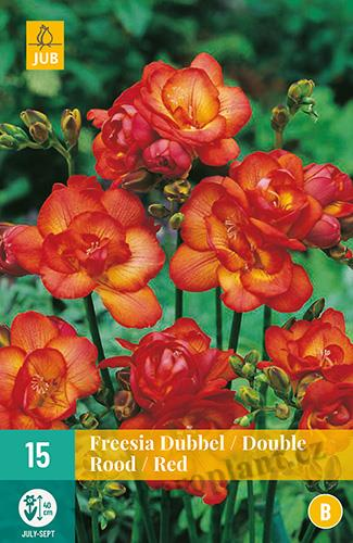 15 DUBBEL ROOD / DOUBLE RED FREESIA