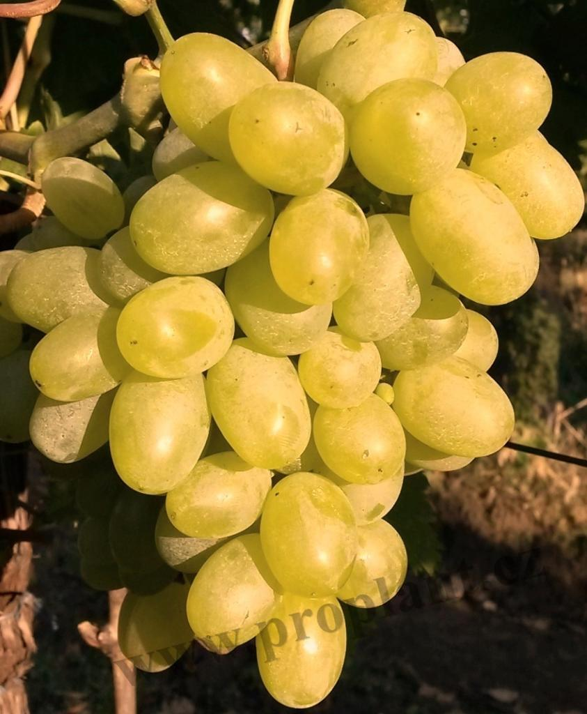 Vinná réva bílá Early seedless