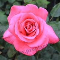 Růže (TT) Lady like