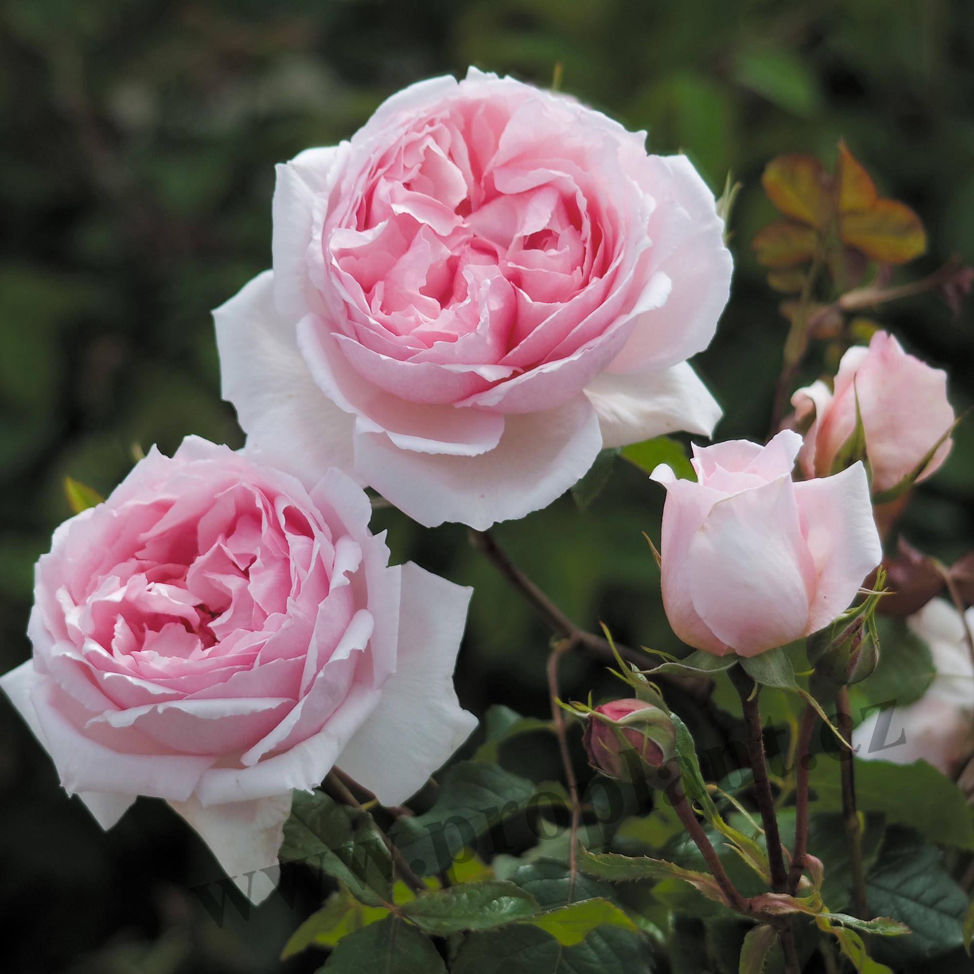 Růže anglická (A) The Wedgwood Rose